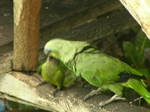 Stock Video Footage of Orange winged parrot (Amazona amazonica) feeding chick
