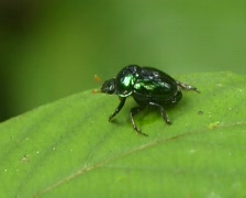 Green scarab beetle on a leaf in rainforest Stock Footage