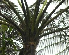 Tree fern in cloudforest Stock Footage
