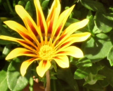 Gazania time lapse Stock Footage