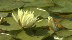 Yellow water lily  Stock Footage