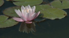 Pink water lily Stock Footage