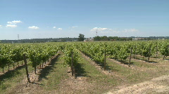 Green vines in a vineyard  Stock Footage