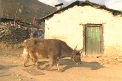 Dzopkyo walks by Sherpa house Stock Footage