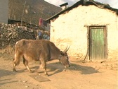 Dzopkyo walks by Sherpa house Stock Footage