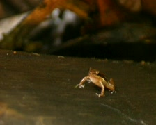 Rocket frog (Allobates insperatus) Stock Footage