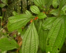 Symbiotic ants inhabiting leaf base of a Melastomataceae plant Stock Footage