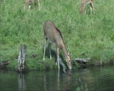 Pere Davids deer Stock Footage