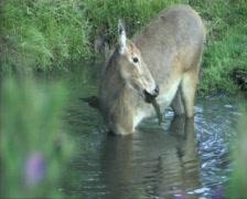 Pere Davids deer Stock Footage