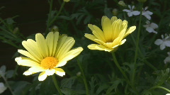 Two yellow flowers in a breeze Stock Footage