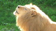 Stock Video Footage of White Lion Roaring