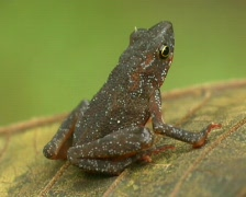 Purple bellied leaf toad (Dendrophryniscus minutus) Stock Footage