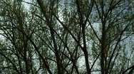 Stock Video Footage of Windy Trees 10 - HD