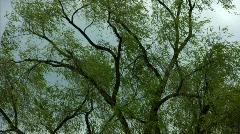 Windy Trees 12 - HD Stock Footage