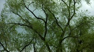Stock Video Footage of Windy Trees 12 - HD