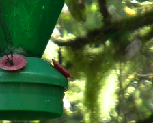 Booted racket-tail hummingbird at a feeder Stock Footage
