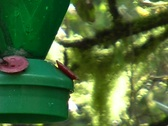 Stock Video Footage of Booted racket-tail hummingbird at a feeder