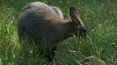 Wallaby kangaroo in grass - stock footage