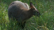 Wallaby kangaroo in grass Stock Footage