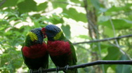 Stock Video Footage of Two Macaws kissing in a tree