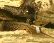 Peripatus or Velvet Worm - stock footage