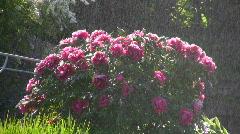 Paeoniaceae, Paeonia suffruticosa, Stock Footage
