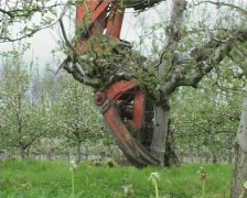 removing apple tree 1 - stock footage
