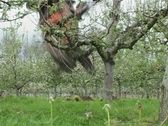 Stock Video Footage of removing apple tree 1