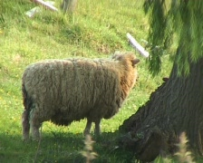Sheep in shade of a tree Stock Footage