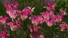 Tulipa, Garden-Tulipa, Liliaceae Stock Footage