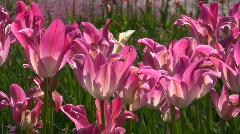 Tulipa, Garden-Tulipa, Liliaceae - stock footage