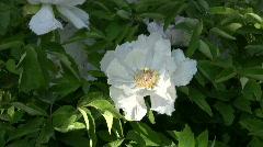 Paeoniaceae, Paeonia suffruticosa Stock Footage