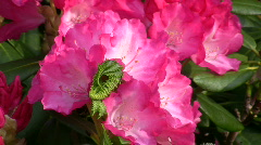 Ericaceae, Rhododendron yakusimanum-Hybride, Fantastica - stock footage
