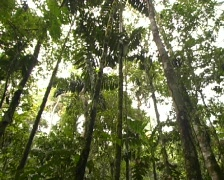Rainforest canopy tilt down to understory Stock Footage