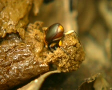 Tropical scarab beetle making a ball of dung Stock Footage