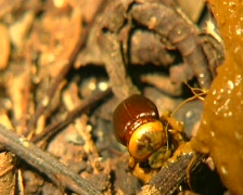 Tropical scarab beetle rolling ball of dung Stock Footage