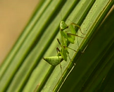 Green praying mantis cleaning antennae and walking up a leaf Stock Footage