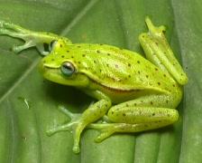 Spotted treefrog (Hypsiboas punctatus) - stock footage