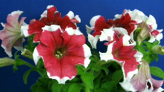 Time-lapse of growing red-white petunia 1  Stock Footage