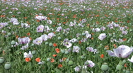 Field of opium poppy flowers and seed heads Stock Footage