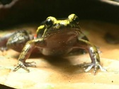 Painted ant nest frog (Lithodytes lineatus) Stock Footage