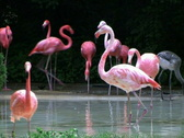 Stock Video Footage of Flamingos Rushing Out of Water