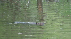 Beaver Swimming Stock Footage