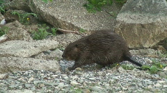Beaver Walking Stock Footage