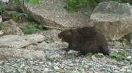 Stock Video Footage of Beaver Walking