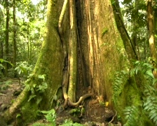Pan up trunk of large rainforest tree to canopy Stock Footage