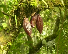 Cocoa pods (Theobroma cacao) Stock Footage