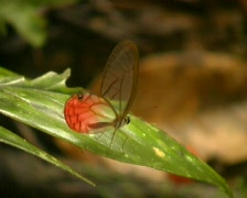 Glasswing butterfly - stock footage