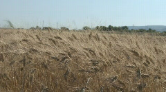 Wheat ready for harvest  Stock Footage