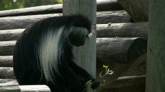 Colobus monkey eating Stock Footage